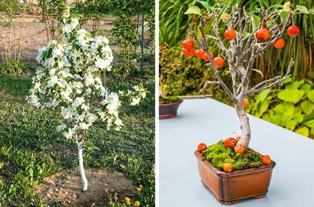 کاشت انواع درخت با هسته میوه, کاشت درخت میوه با هسته میوه