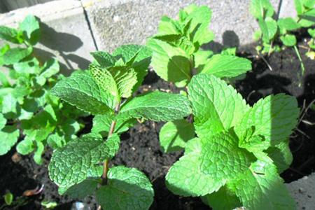 نکاتی برای کاشت سبزی,آشنایی با انواع تربچه