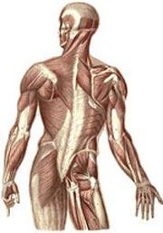 عضلات بدن,نام عضلات بدن,انواع عضله