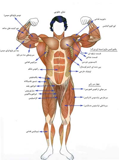 آشنایی با عضلات بدن