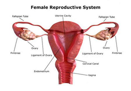 خروسک زن کجاست, واژن زن دقیقا کجاست, تفاوت اندام تناسلی زن و دختر